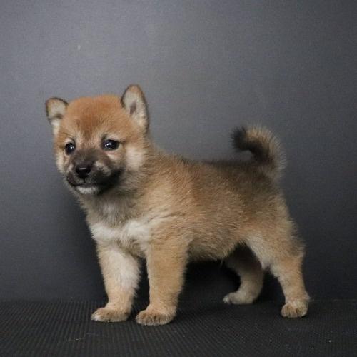 柴犬の子犬(ID:1262511798)の3枚目の写真/更新日:2019-09-13