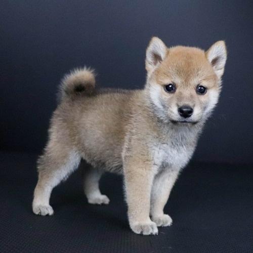 柴犬の子犬(ID:1262511800)の3枚目の写真/更新日:2019-09-14
