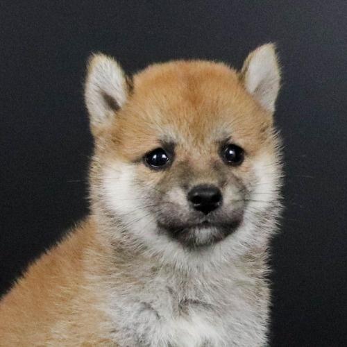 柴犬の子犬(ID:1262511801)の1枚目の写真/更新日:2019-09-14