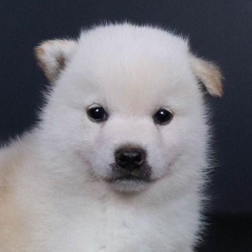 柴犬の子犬(ID:1262511802)の1枚目の写真/更新日:2019-09-16