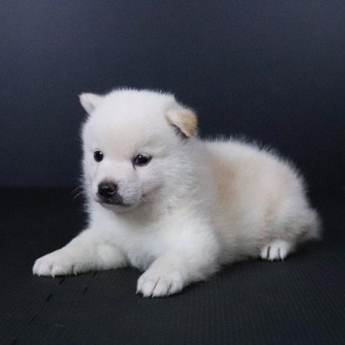 柴犬の子犬(ID:1262511802)の3枚目の写真/更新日:2019-09-16