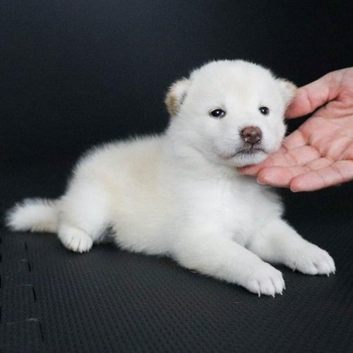 柴犬の子犬(ID:1262511803)の3枚目の写真/更新日:2019-09-16