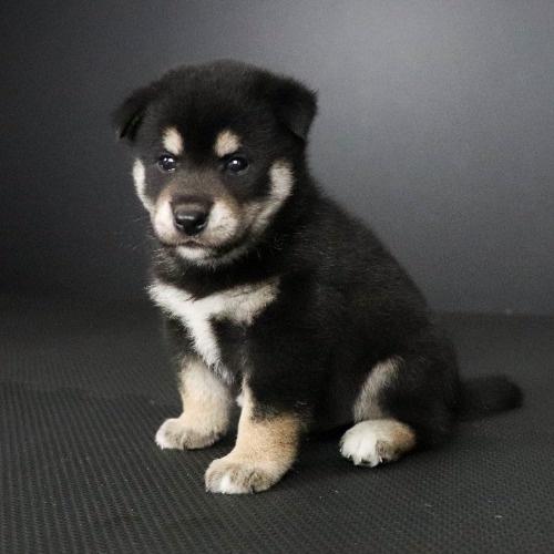 柴犬の子犬(ID:1262511805)の2枚目の写真/更新日:2019-09-16