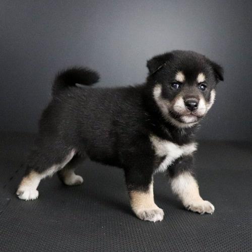 柴犬の子犬(ID:1262511805)の3枚目の写真/更新日:2019-09-16
