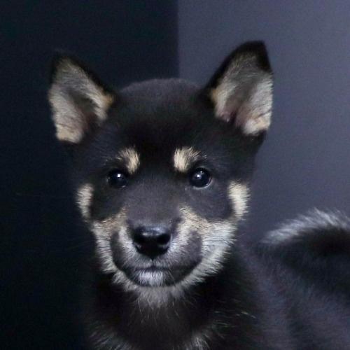 柴犬の子犬(ID:1262511806)の1枚目の写真/更新日:2019-09-16