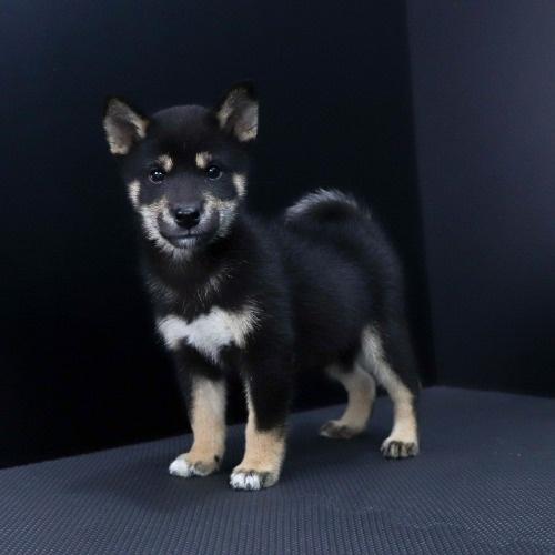 柴犬の子犬(ID:1262511806)の2枚目の写真/更新日:2019-09-16