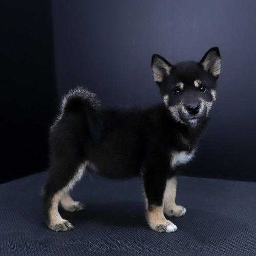 柴犬の子犬(ID:1262511806)の3枚目の写真/更新日:2019-09-16
