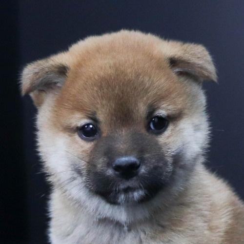 柴犬の子犬(ID:1262511807)の1枚目の写真/更新日:2019-09-17