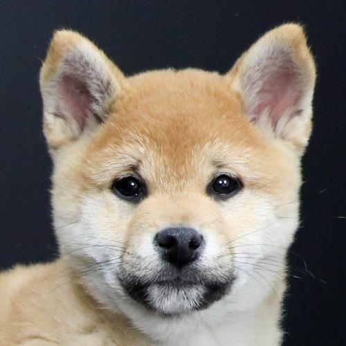柴犬の子犬(ID:1262511808)の1枚目の写真/更新日:2019-09-17