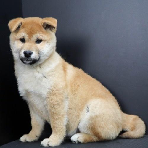 柴犬の子犬(ID:1262511809)の2枚目の写真/更新日:2019-09-17