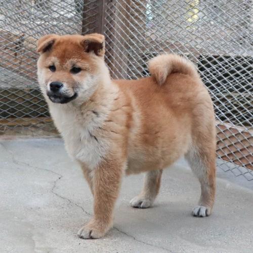 柴犬の子犬(ID:1262511809)の3枚目の写真/更新日:2019-09-17