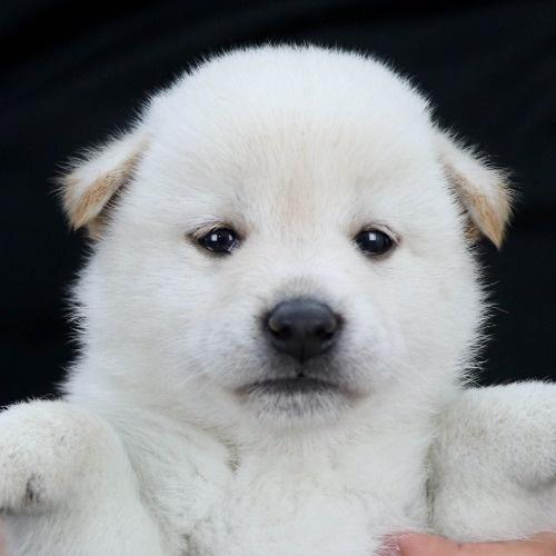 柴犬の子犬(ID:1262511821)の1枚目の写真/更新日:2019-10-11