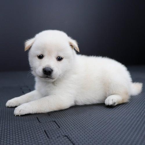柴犬の子犬(ID:1262511821)の2枚目の写真/更新日:2019-10-11