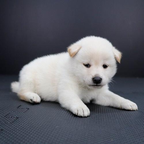 柴犬の子犬(ID:1262511821)の3枚目の写真/更新日:2019-10-11