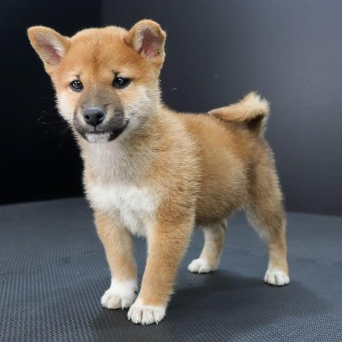 柴犬の子犬(ID:1262511824)の2枚目の写真/更新日:2019-10-11