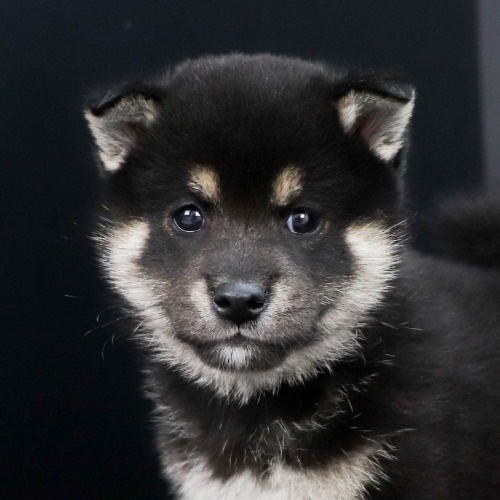 柴犬の子犬(ID:1262511826)の1枚目の写真/更新日:2019-10-11