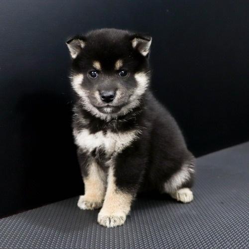 柴犬の子犬(ID:1262511826)の3枚目の写真/更新日:2019-10-11