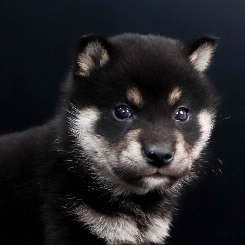 柴犬の子犬(ID:1262511827)の1枚目の写真/更新日:2019-10-11