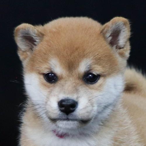柴犬の子犬(ID:1262511830)の1枚目の写真/更新日:2019-10-15