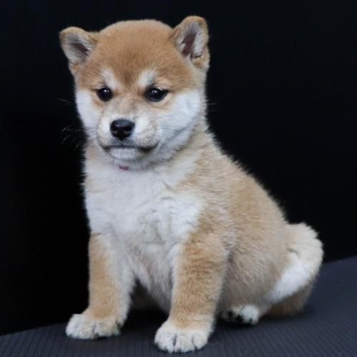 柴犬の子犬(ID:1262511830)の2枚目の写真/更新日:2019-10-15