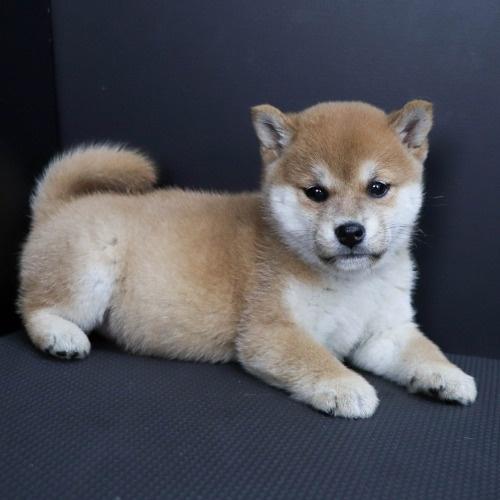 柴犬の子犬(ID:1262511830)の3枚目の写真/更新日:2019-10-15