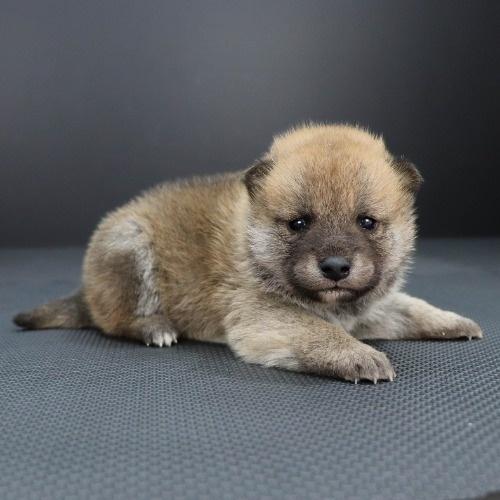 柴犬の子犬(ID:1262511850)の2枚目の写真/更新日:2019-11-14