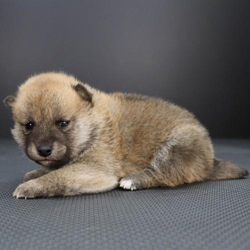 柴犬の子犬(ID:1262511850)の3枚目の写真/更新日:2019-11-14