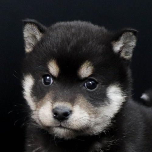 柴犬の子犬(ID:1262511851)の1枚目の写真/更新日:2019-11-19