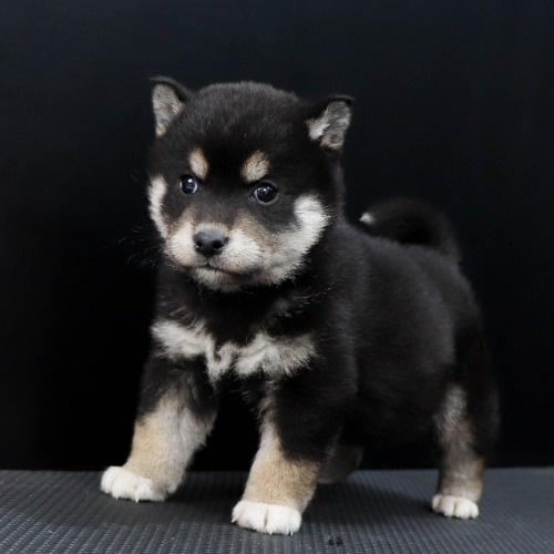 柴犬の子犬(ID:1262511851)の2枚目の写真/更新日:2019-11-19