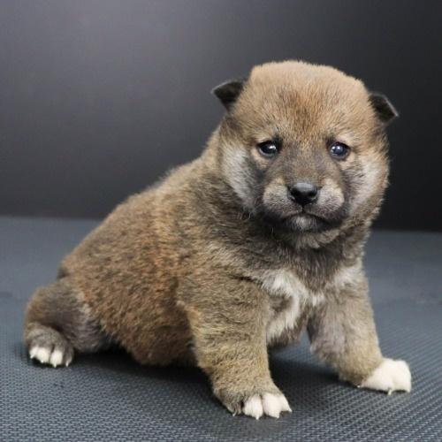 柴犬の子犬(ID:1262511852)の3枚目の写真/更新日:2019-11-19