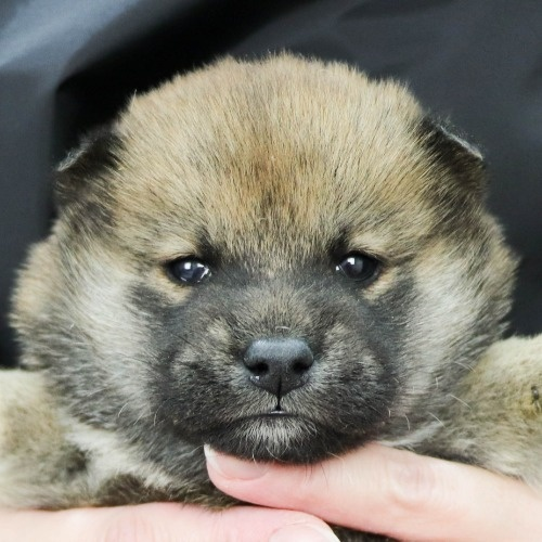 柴犬の子犬(ID:1262511853)の1枚目の写真/更新日:2019-11-19