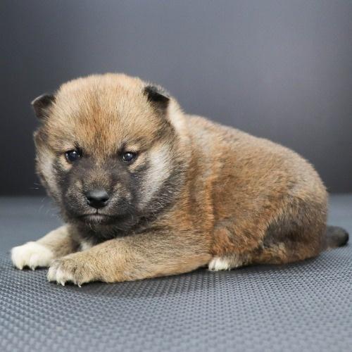 柴犬の子犬(ID:1262511853)の3枚目の写真/更新日:2019-11-19