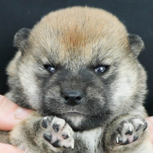 柴犬の子犬(ID:1262511854)の1枚目の写真/更新日:2019-11-12