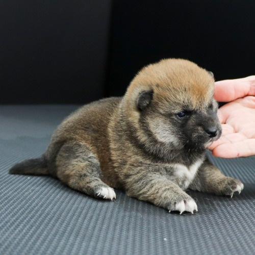 柴犬の子犬(ID:1262511854)の2枚目の写真/更新日:2019-11-12