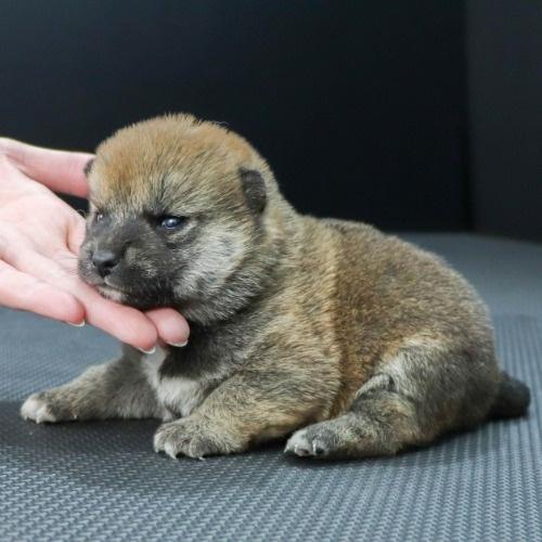 柴犬の子犬(ID:1262511854)の3枚目の写真/更新日:2019-11-12
