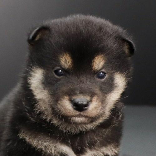 柴犬の子犬(ID:1262511855)の1枚目の写真/更新日:2019-11-16