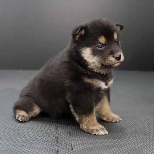 柴犬の子犬(ID:1262511855)の3枚目の写真/更新日:2019-11-16