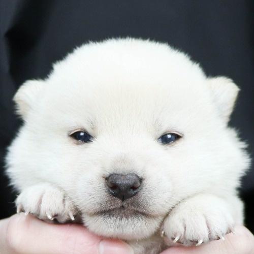 柴犬の子犬(ID:1262511856)の1枚目の写真/更新日:2019-11-16