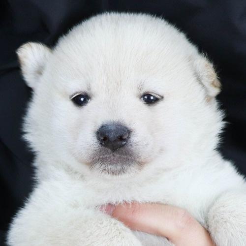 柴犬の子犬(ID:1262511858)の1枚目の写真/更新日:2019-11-16