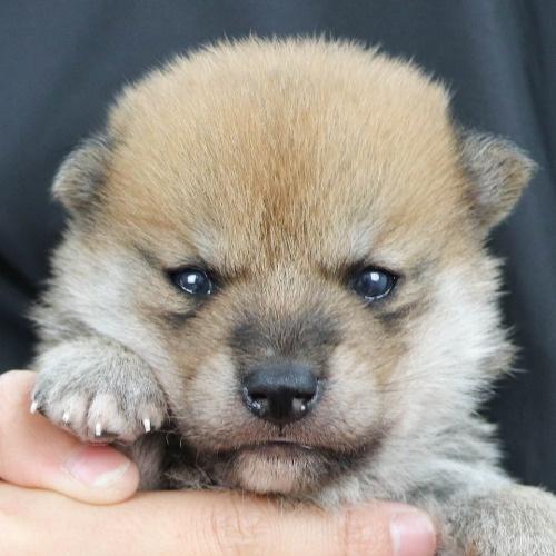 柴犬の子犬(ID:1262511860)の1枚目の写真/更新日:2019-11-18