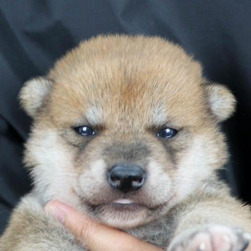 柴犬の子犬(ID:1262511861)の1枚目の写真/更新日:2019-11-18