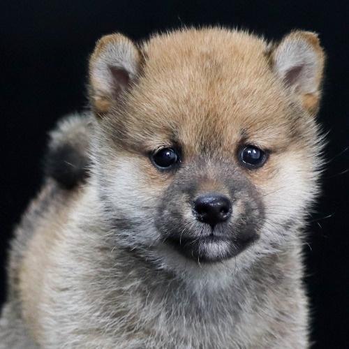 柴犬の子犬(ID:1262511902)の1枚目の写真/更新日:2020-01-22