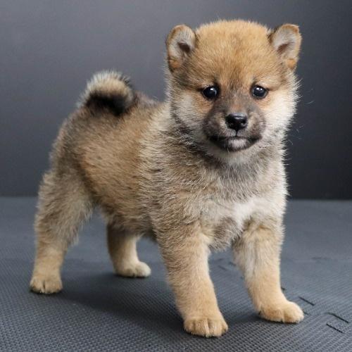 柴犬の子犬(ID:1262511902)の2枚目の写真/更新日:2020-01-22