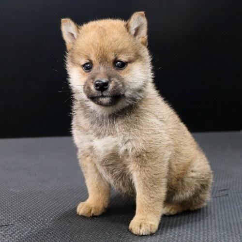 柴犬の子犬(ID:1262511902)の3枚目の写真/更新日:2020-01-22