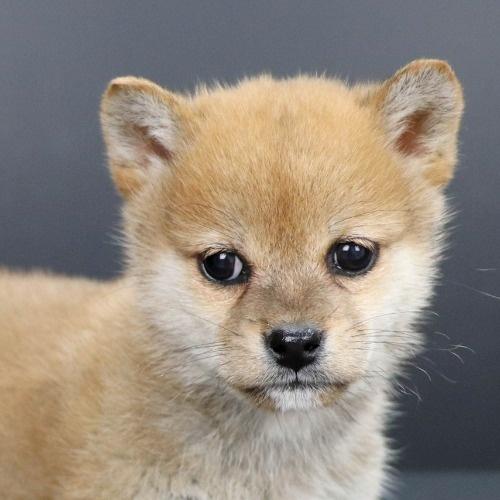 柴犬の子犬(ID:1262511903)の1枚目の写真/更新日:2020-01-22
