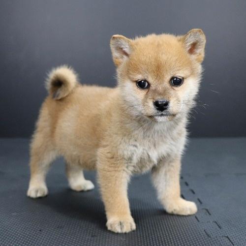 柴犬の子犬(ID:1262511903)の2枚目の写真/更新日:2020-01-22