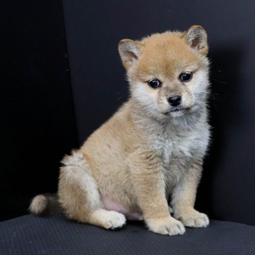 柴犬の子犬(ID:1262511903)の3枚目の写真/更新日:2020-01-22