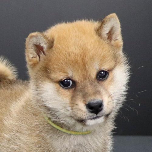 柴犬の子犬(ID:1262511904)の1枚目の写真/更新日:2020-01-22