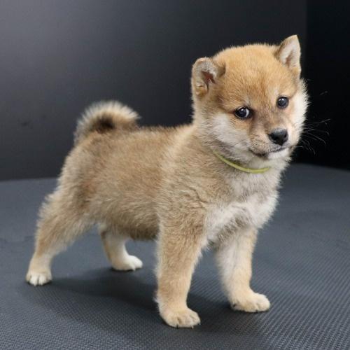 柴犬の子犬(ID:1262511904)の2枚目の写真/更新日:2020-01-22
