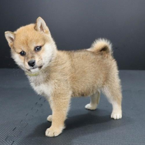 柴犬の子犬(ID:1262511904)の3枚目の写真/更新日:2020-01-22